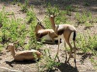 Leones contra gacelas