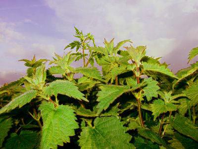 La ortiga, ¿mala hierba o una fuente de beneficios para la salud?
