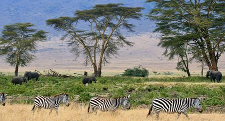Zebras Serengeti Savana Plains Tanzania