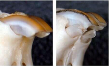Este nuevo medicamento consigue que crezcan dientes en ratones que carecen de ellos