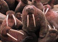 Singularidades extraordinarias de animales ordinarios (XXXVI): la morsa