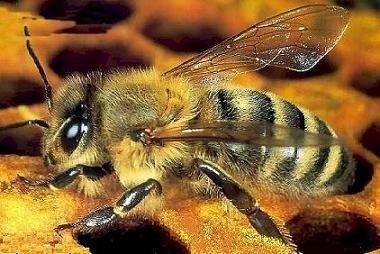 Descifrado el genoma de la abeja común europea