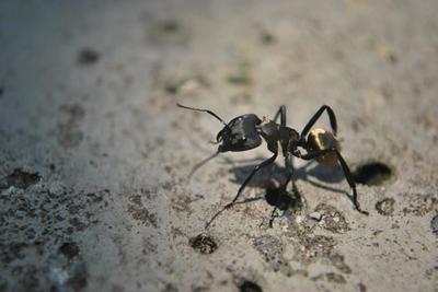 Las hormigas podrían ser claves en la captura del CO2 y la disminución del efecto invernadero