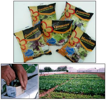Las lechugas envasadas de IV gama se cultivan sin tierra