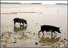 Cerdos Pescadores, atracción y plato típico de Tonga