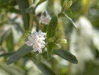 La stevia pronto será aprobada en Europa