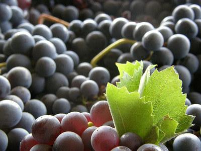 La uva tempranillo, typical spanish