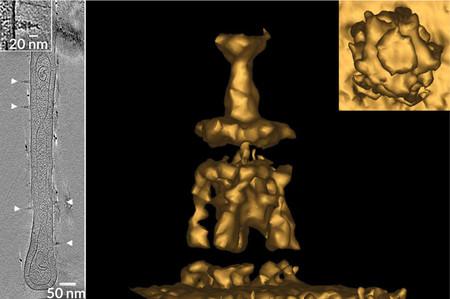 Una bacteria de agua dulce llamada Prosthecobacter debontii pinza su superficie con apéndices que se asemejan a las mini torres Eiffel.
