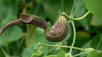 La planta medicinal china que produce más cáncer que el tabaco o la radiación solar