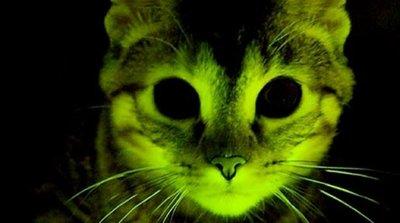 Gatos verdes resisten el virus del SIDA