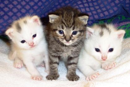 Gatos hipoalergénicos