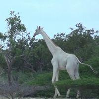 Albinismo y leucismo: las dos anomalías que están acabando con animales como las jirafas blancas