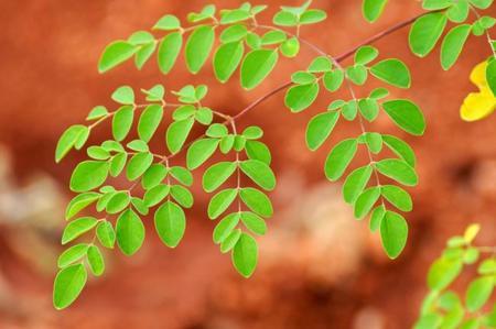 Moringa, la planta milagrosa