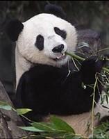 Se reciclarán excrementos de panda gigante para fabricar papel higiénico