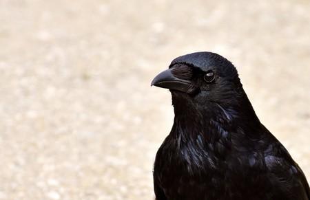 Necrofilia entre cuervos: así es uno de los comportamientos más extraños vistos en el reino animal