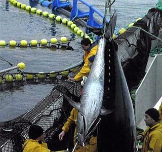 Conocer el origen del atún por sms