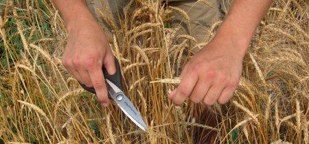 Descubre el trigo Kernza, el nuevo supergrano