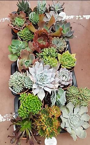 Planta suculenta Suculentus en maceta de 17 cm