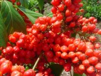 Extractos de guaraná como conservantes naturales