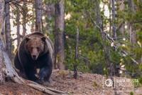 Cómo fotografiar un oso grizzly de frente y salir ileso