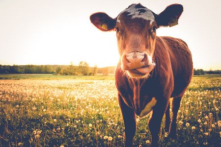 ganado-vaca-campo