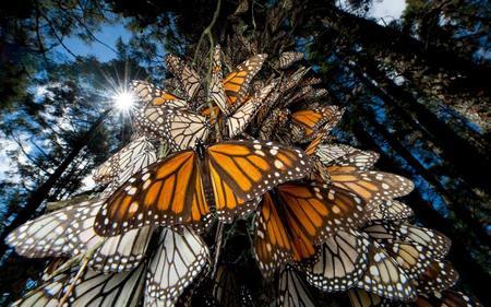 santuario-mariposa-monarca-michoacán.jpg