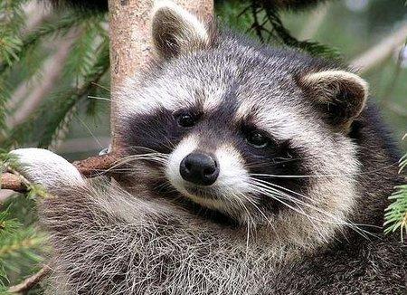Singularidades extraordinarias de animales ordinarios (XXXIV): el mapache