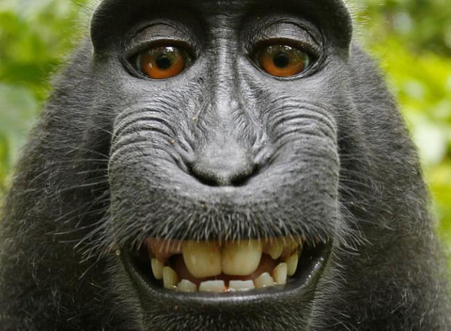 ¿Puede un mono arrebatar los derechos de autor de una autofoto al dueño de la cámara? Parece que sí (Actualizado)
