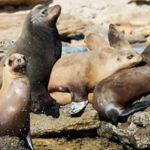 Lobos marinos del Golfo de California serán contados con drones