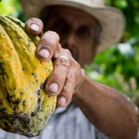 Cacao, el alimento de los Dioses de Linneo