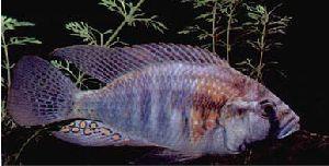 Cuando ya no estás en la cima: el Haplochromis burtoni