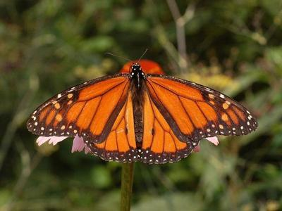 La muerte de casi mil millones de mariposas monarca