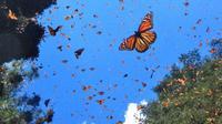 La mariposa monarca, podría estar en riesgo de extinción
