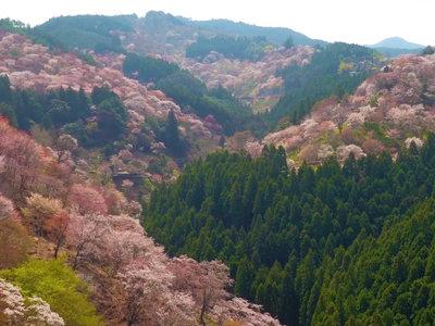 'Japan Cherry Blossoms', un timelapse con drones que muestra la magia de la floración de los cerezos japoneses