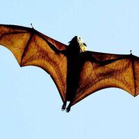Una genetista está estudiando la longevidad de los murciélagos para descubrir beneficios para los humanos