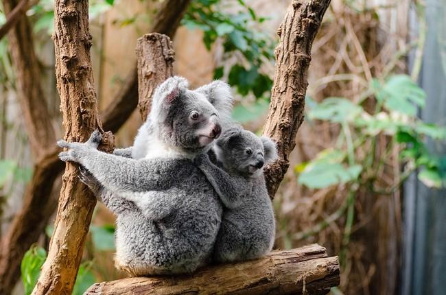 Koala 1259681 960 720