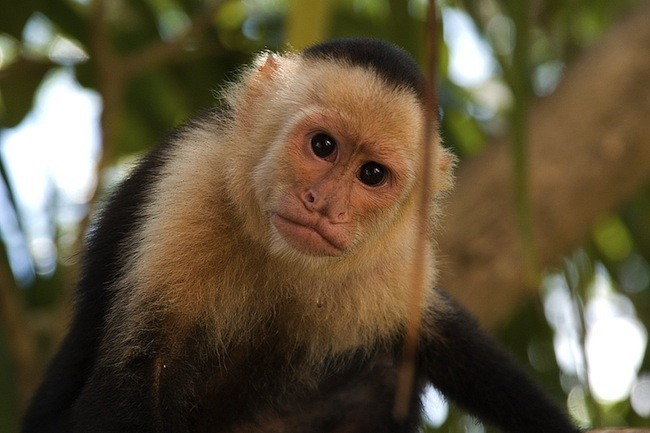 [Vídeo] Capuchinos: no tan distintos de un ser humano