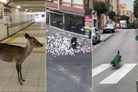 Palomas, ciervos y jabalíes han tomado las calles en busca de algo ahora esquivo: nuestra comida
