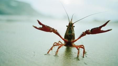 Este cangrejo ha mutado de tal manera que es capaz de clonarse a sí mismo, y eso empieza a ser un problema en Europa