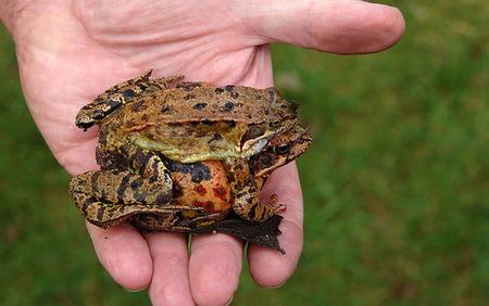 ¿Sabías que antiguamente el test de embarazo era una rana?