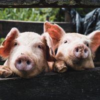 """La gripe """"potencialmente pandémica"""" que está expandiéndose entre los cerdos de China no sería noticia en circunstancias normales"""