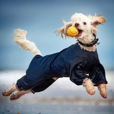 Overall Winner Of Pipa Darrenwilliamhall With This Shot Of His Miniature Poodle Ted L