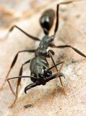 Una hormiga ostenta el récord en velocidad de mordedura