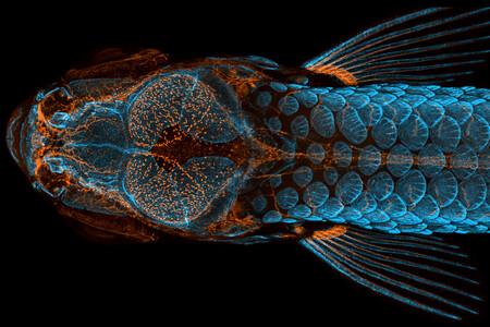 Un pez cebra protagoniza los ganadores del certamen de microfotografía de Nikon Small World 2020