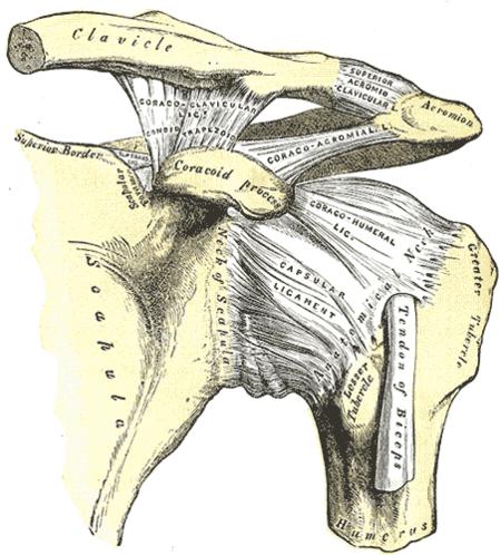 Hombro (huesos y ligamentos)