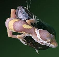 Geckel, nuevo pegamento sintético inspirado en los mejillones y las salamanquesas