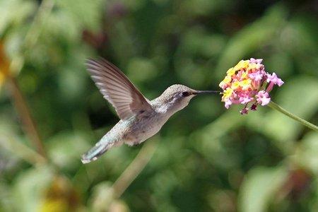La lengua del colibrí