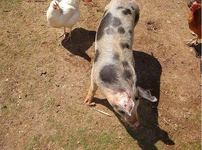Cerdos y gallinas: metodología Scrum