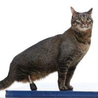 Estas increíbles patas de titanio le han dado una nueva vida a este gato