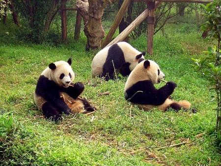 800px Chengdu Pandas D10